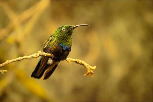 Oiseaux - kolibřík 01