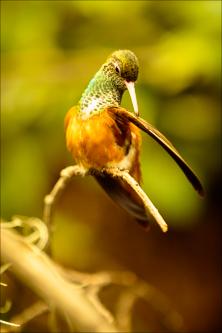Oiseaux - kolibřík 04