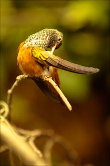 Oiseaux - kolibřík 05
