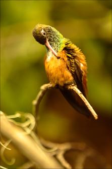 Oiseaux - kolibřík 06