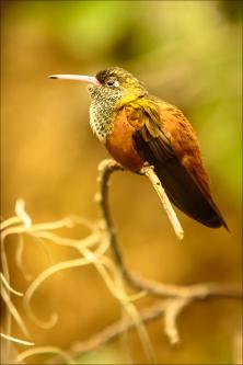 Oiseaux - kolibřík 09