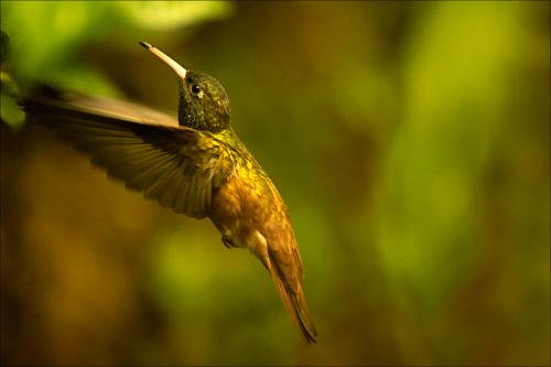 Oiseaux - kolibřík 010