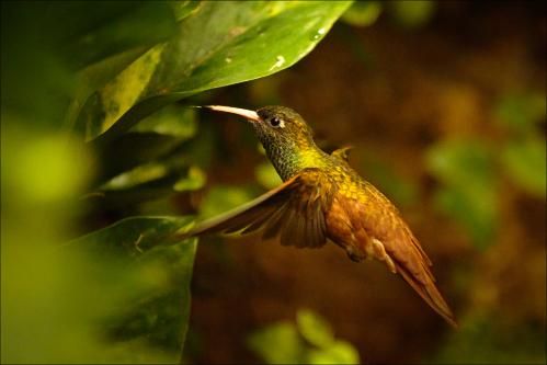 Oiseaux - kolibřík 011