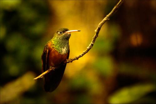 Oiseaux - kolibřík 012